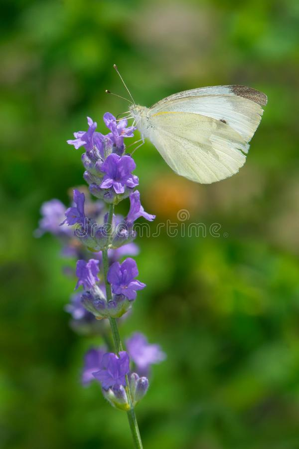 Cabbage White Butterfly - Pieris rapae. Female Cabbage White Butterfly collecting nectar from a purple Mealy Sage flower. Urquhart Butterfly Garden, Hamilton stock photo