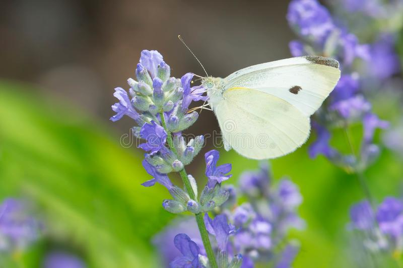 Cabbage White Butterfly - Pieris rapae. Female Cabbage White Butterfly collecting nectar from a purple Mealy Sage flower. Urquhart Butterfly Garden, Hamilton royalty free stock photo
