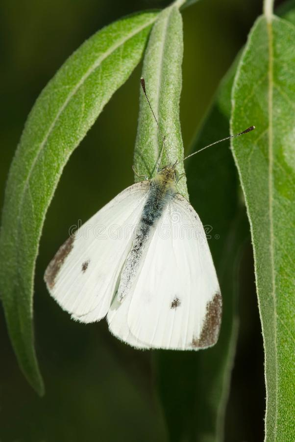 Cabbage White Butterfly - Pieris rapae. Male Cabbage White Butterfly perched on a leaf. Tommy Thompson Park, Totonto, Ontario, Canada stock photography