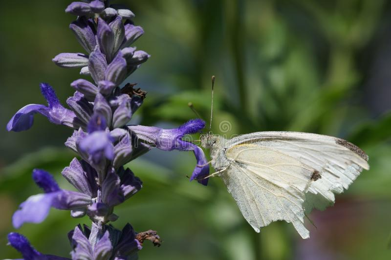Cabbage White Butterfly on Salvia Flower stock photography