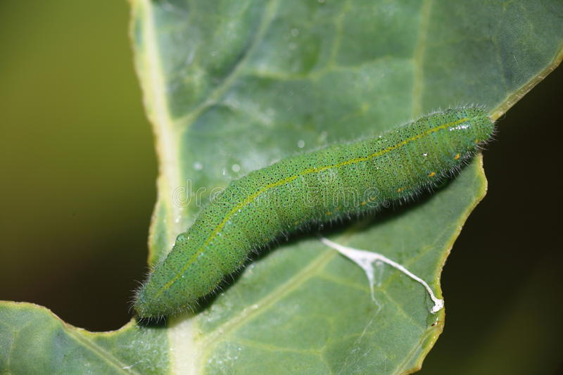 Cabbage larva on leaf. Macro of the Cabbage Butterfly larva eating along the vein of a cabbage leaf stock photos