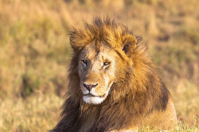 Cabeça africana do leão no quadro completo Savannah Masai Mara, África foto de stock royalty free