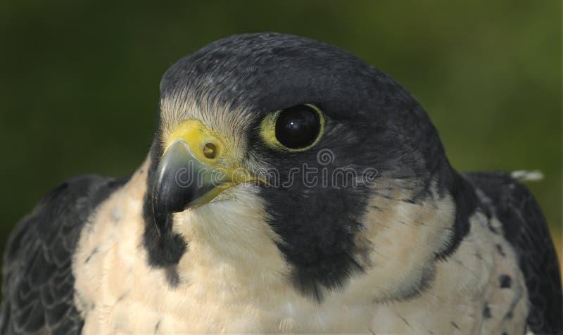 Cabeça & ombros do falcão do peregrino imagens de stock