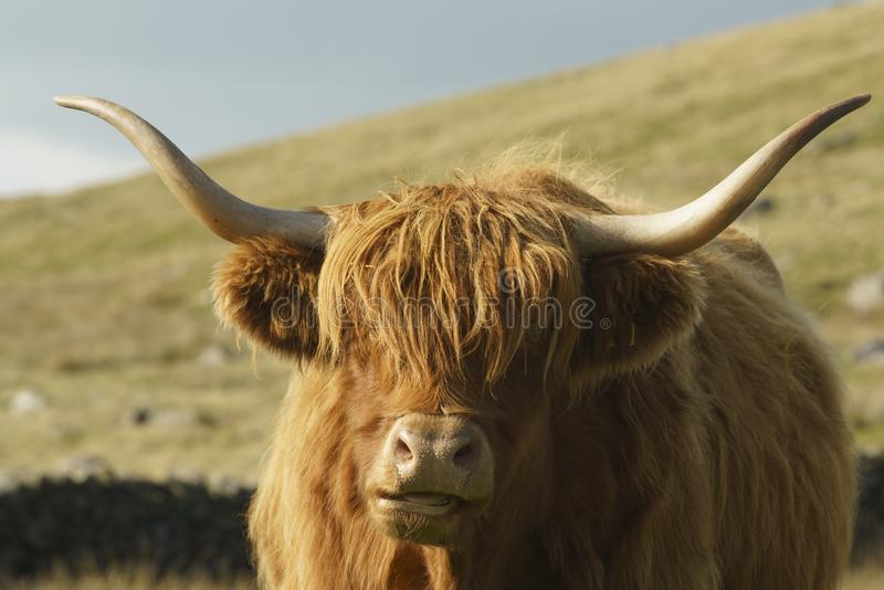 A cabeça ascendente próxima disparou de uma vaca das montanhas imagens de stock
