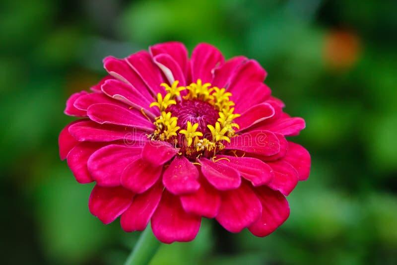 Flor do Zinnia imagens de stock royalty free