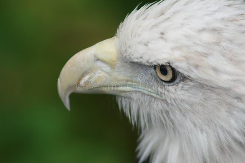 Cabeça branca de uma águia imagem de stock royalty free