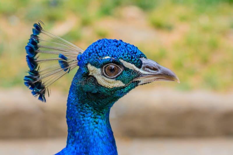 Cabeça brilhante do pavão com as penas azuis na parte superior Close-up da cabeça azul masculina do pavão com fundo borrado fotos de stock