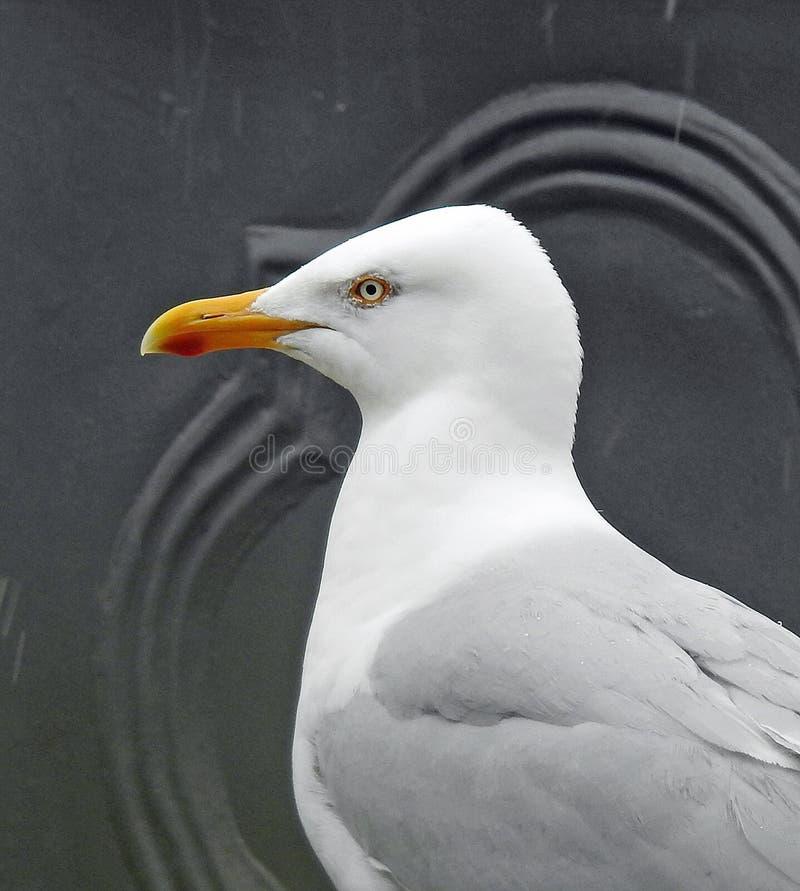 Cabeça britânica da gaivota da garça-real e perfil lateral dos ombros foto de stock royalty free