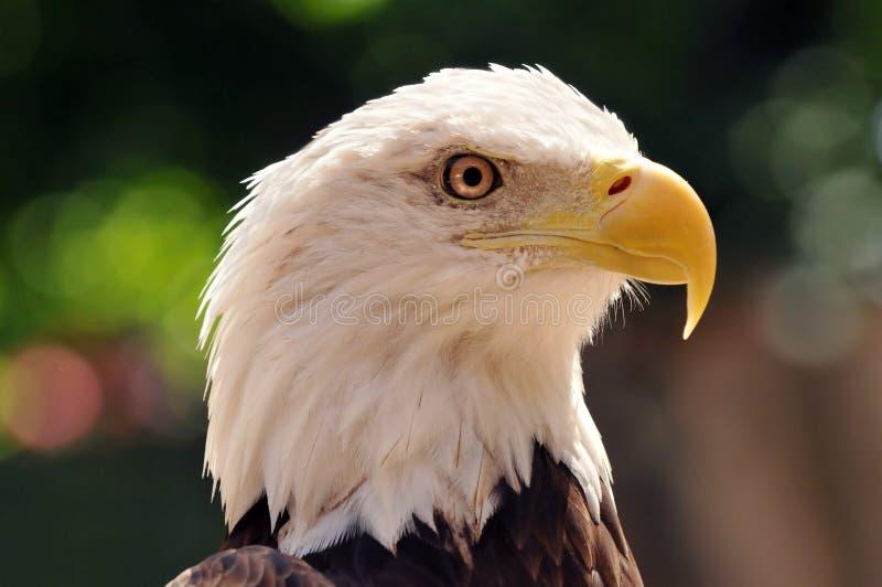Cabeça da águia calva imagens de stock royalty free