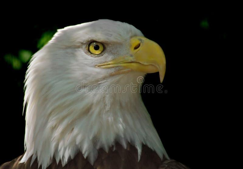 Cabeça da águia calva fotografia de stock royalty free