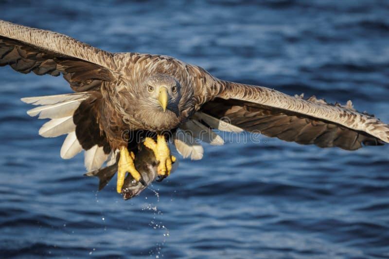 Cabeça da águia de mar sobre fotos de stock