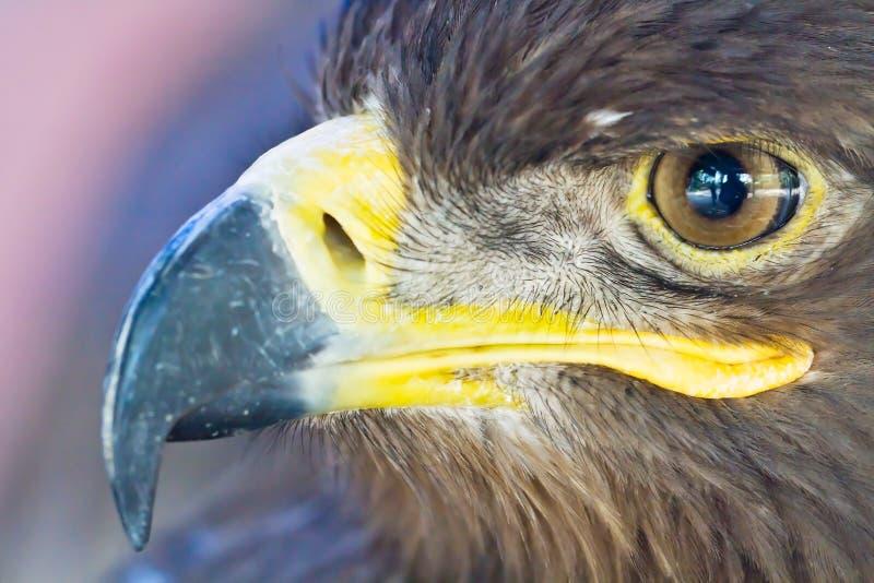 Cabeça da águia do Close-up foto de stock royalty free