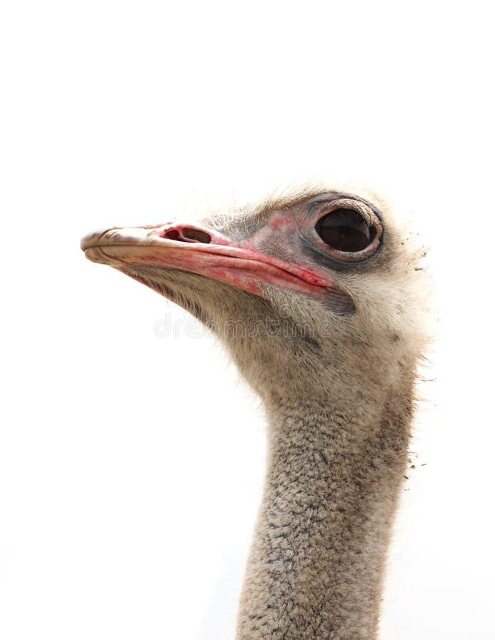 Cabeça da avestruz isolada no branco imagem de stock