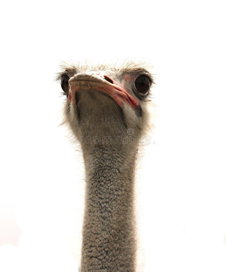 Cabeça da avestruz isolada no branco fotos de stock royalty free