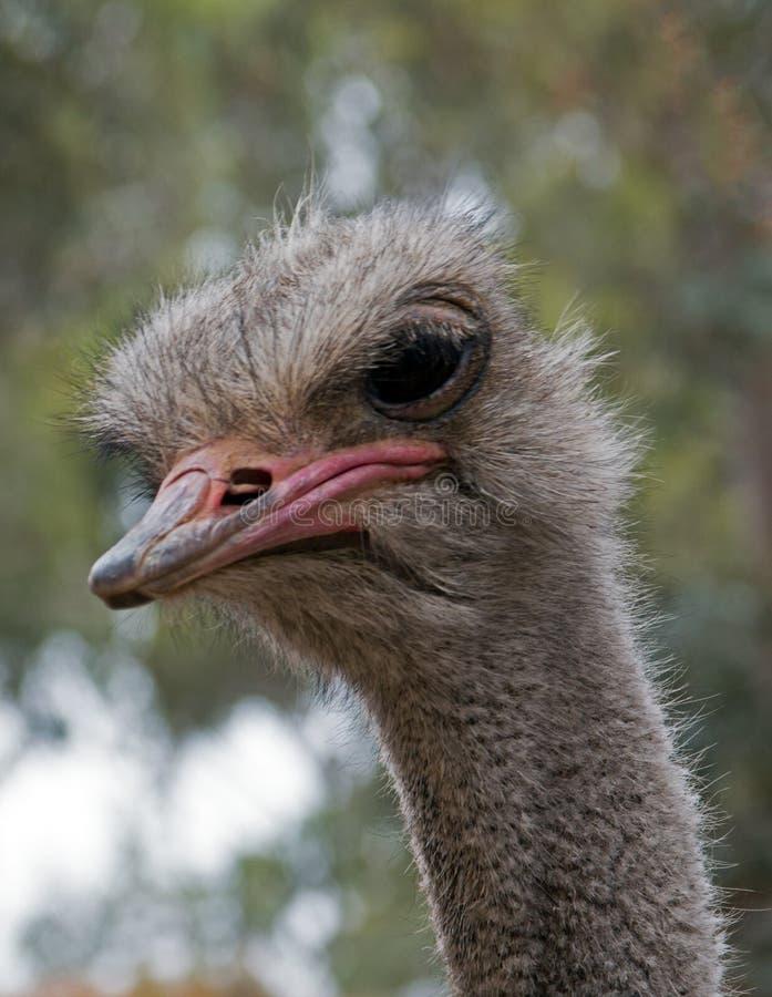 Cabeça da avestruz perto de Adelaide Australia foto de stock royalty free