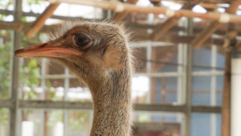 A cabeça da avestruz da vista lateral imagem de stock