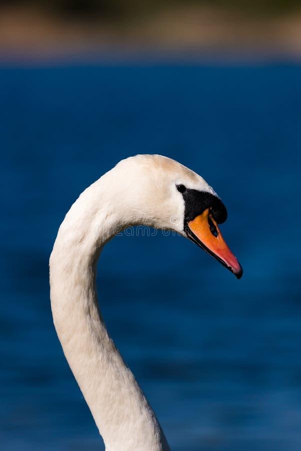 Cabeça da cisne e retrato do pescoço fotografia de stock