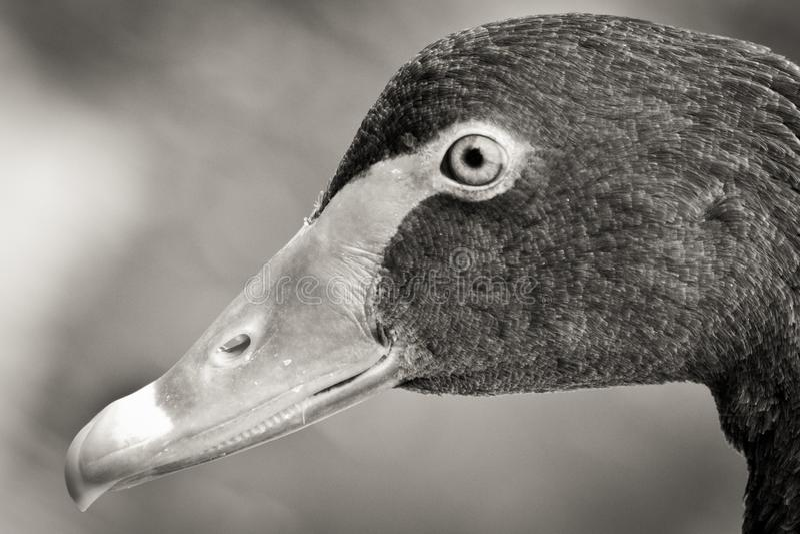 Cabeça da cisne em preto e branco foto de stock royalty free