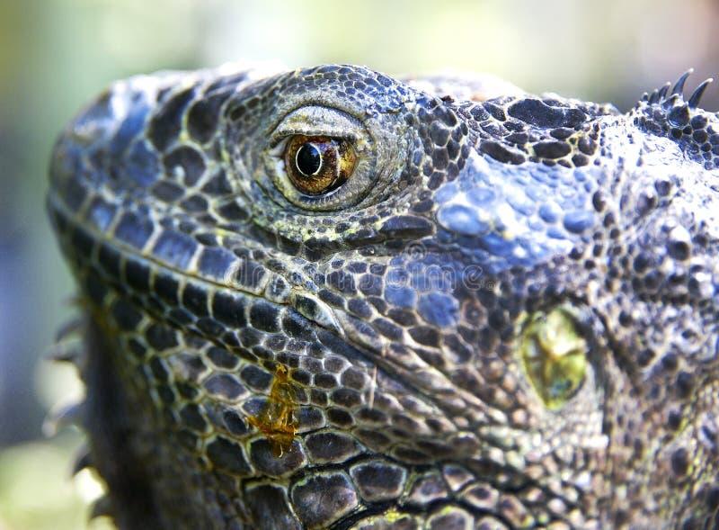Cabeça da iguana grande imagens de stock royalty free