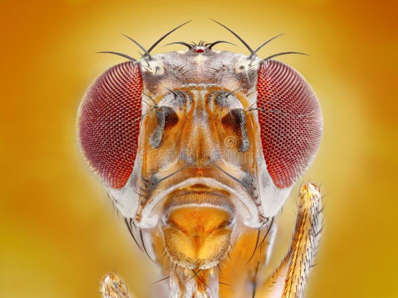 cabeça da mosca de fruto   fotografia de stock