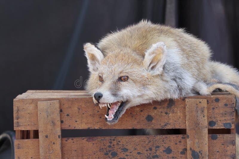 Cabeça da pele e da raposa foto de stock