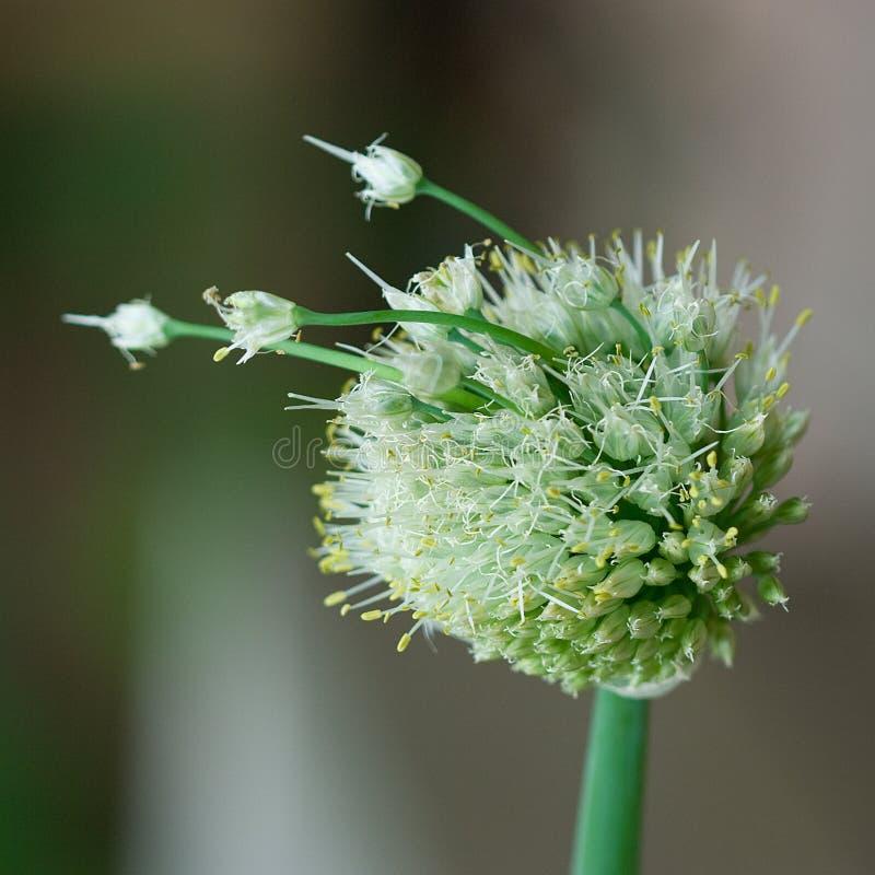 Download Cabeça Da Semente Da Cebola Foto de Stock - Imagem de detalhado, semente: 12812684