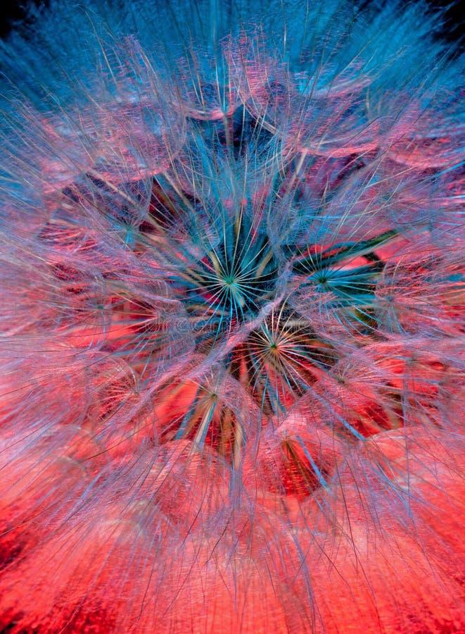 Cabeça da semente da flor da arnica fotos de stock