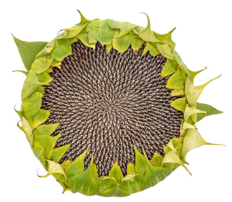 Cabeça da semente de girassol isolada no fundo branco Vista aérea foto de stock royalty free