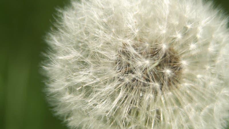 Cabeça da semente do dente-de-leão foto de stock royalty free