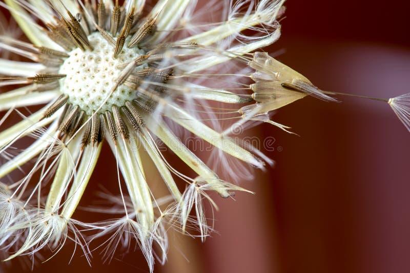 Cabe?a da semente do dente-de-le?o com orvalho da manh fotografia de stock