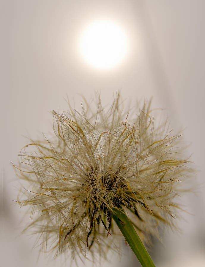 Cabe?a da semente do dente-de-le?o, com um sol tenous atr fotos de stock