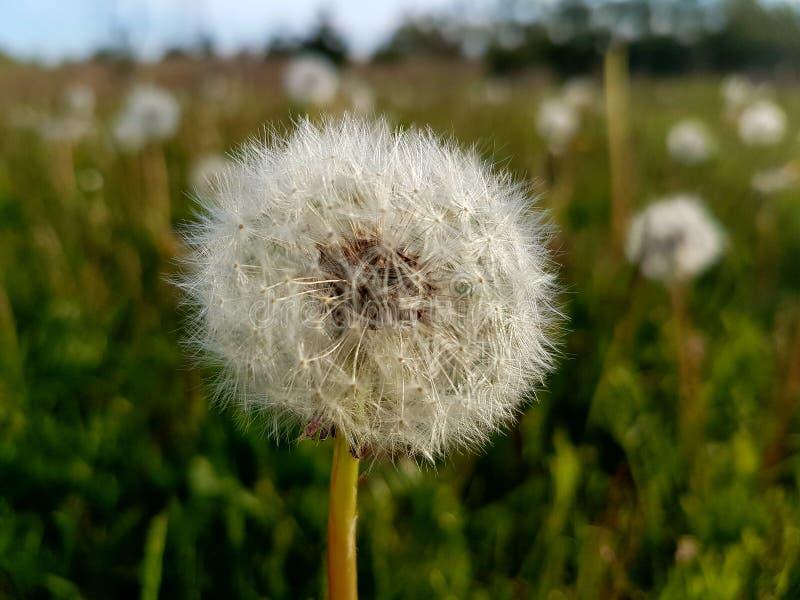 Cabeça da semente do dente-de-leão em um campo gramíneo imagens de stock royalty free