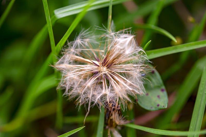 Cabe?a da semente do dente-de-le?o entre a grama imagem de stock
