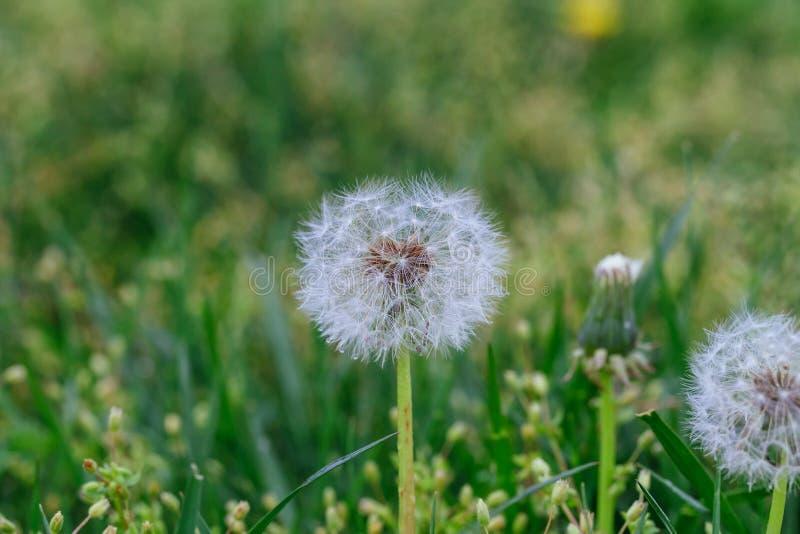 Cabeça da semente do dente-de-leão nas flores brancas do prado macro obscuro do close-up do fundo na grama verde imagens de stock royalty free