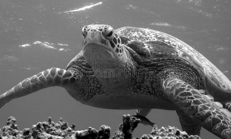 Cabeça da tartaruga verde sobre fotos de stock