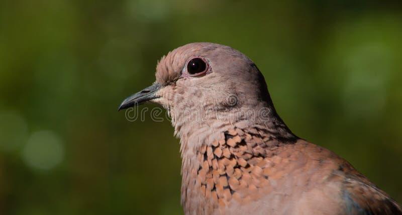 A cabeça da vista lateral disparou de uma pomba consideravelmente de riso fotografia de stock royalty free