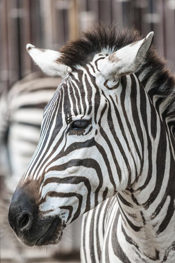Cabeça da zebra foto de stock royalty free