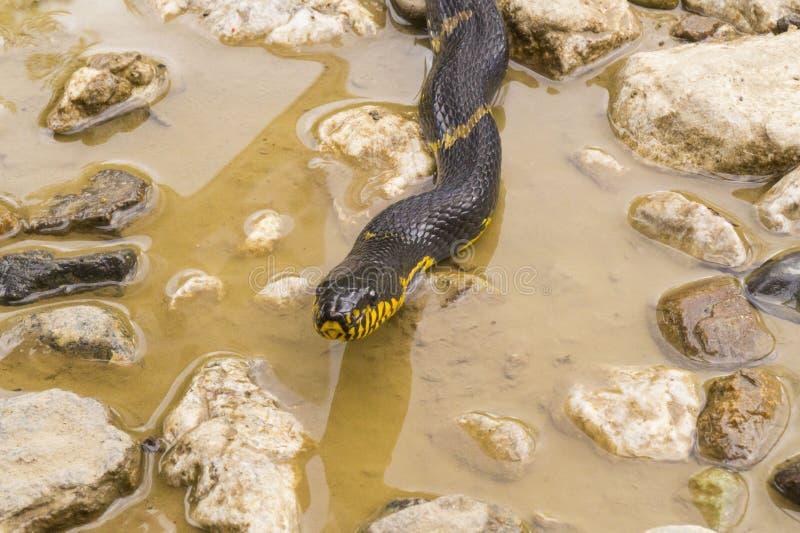 A cabeça das serpentes, o patim de Amur imagem de stock