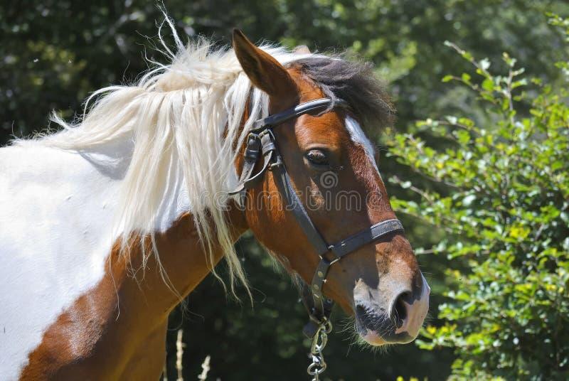 Cabeça de Brown e do cavalo branco fotografia de stock