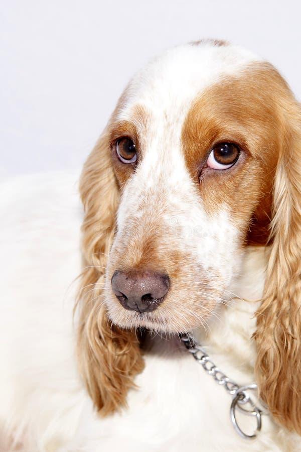 Cabeça de cães foto de stock royalty free