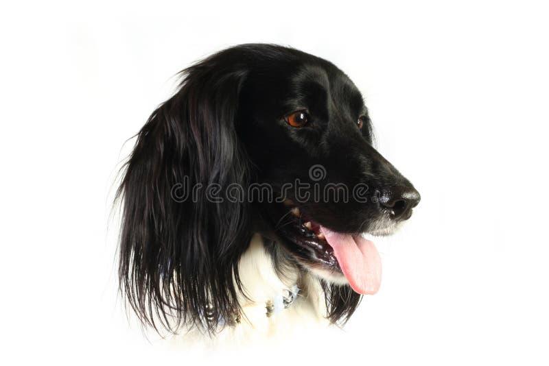 Cabeça de cão isolada no branco foto de stock