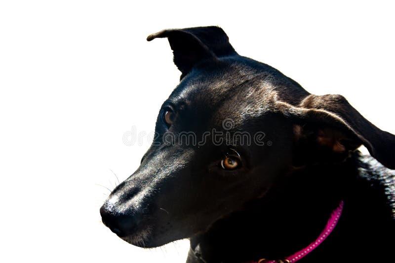 Cabeça de cão preto no fundo branco foto de stock