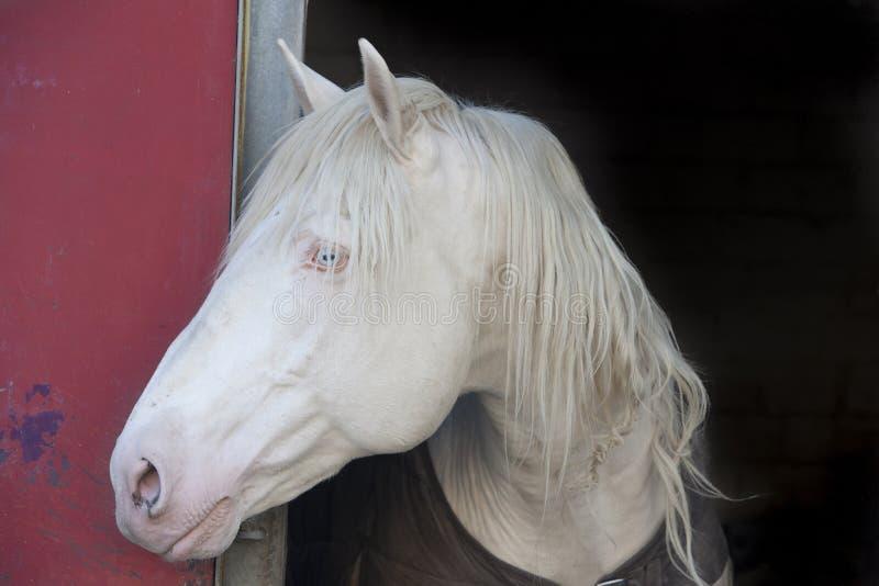 Cabeça de cavalo branco imagens de stock royalty free
