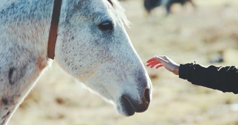 Cabeça de cavalo branco das trocas de carícias da mão da mulher fotografia de stock royalty free