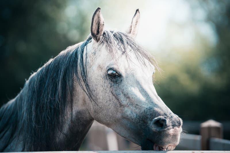 Cabeça de cavalo cinzenta árabe bonita na cerca do prado foto de stock