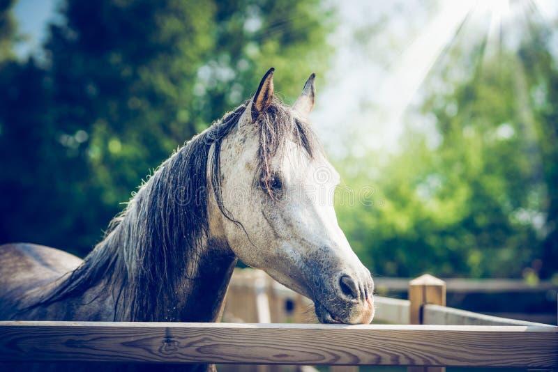 Cabeça de cavalo cinzenta árabe bonita na cerca do prado no fundo da natureza do verão imagens de stock