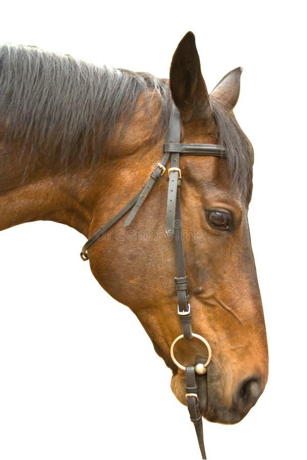 Cabeça de cavalo de Brown isolada foto de stock royalty free