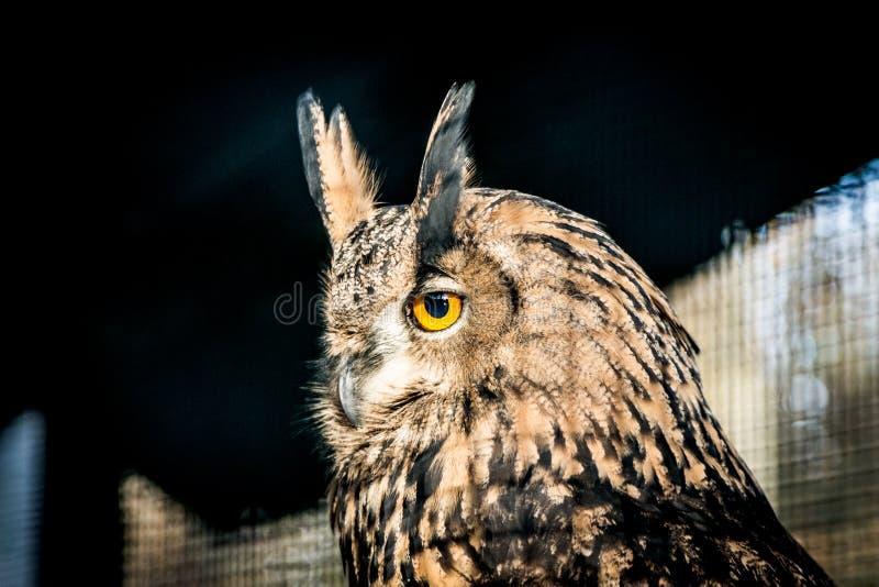 Cabeça de Eagle Owl imagem de stock royalty free