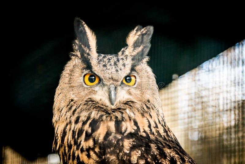 Cabeça de Eagle Owl foto de stock royalty free