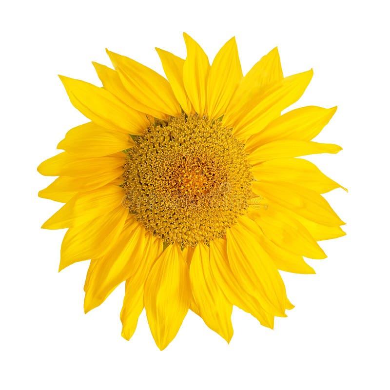 Cabeça de flor amarela do girassol isolada no branco imagens de stock